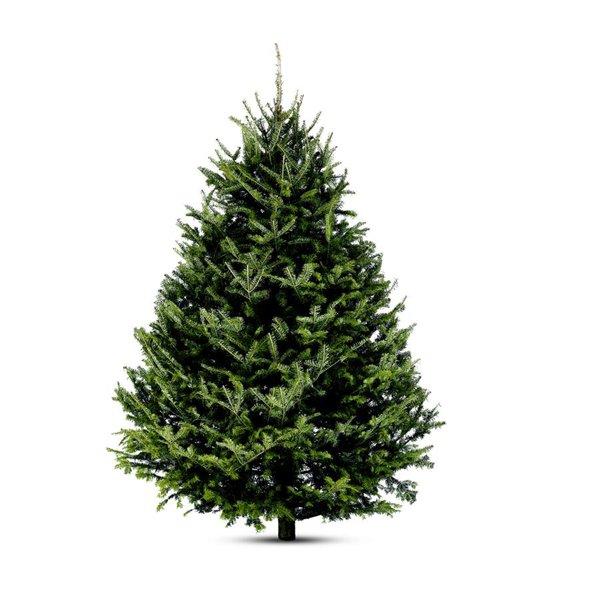 Christmas tree - Balsam Fir