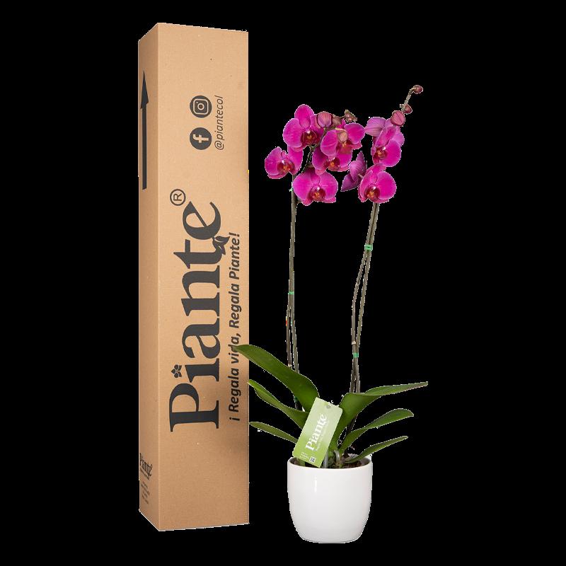 Orquídea supreme morada y  matera cerámica Caja con altura promedio: 55cms