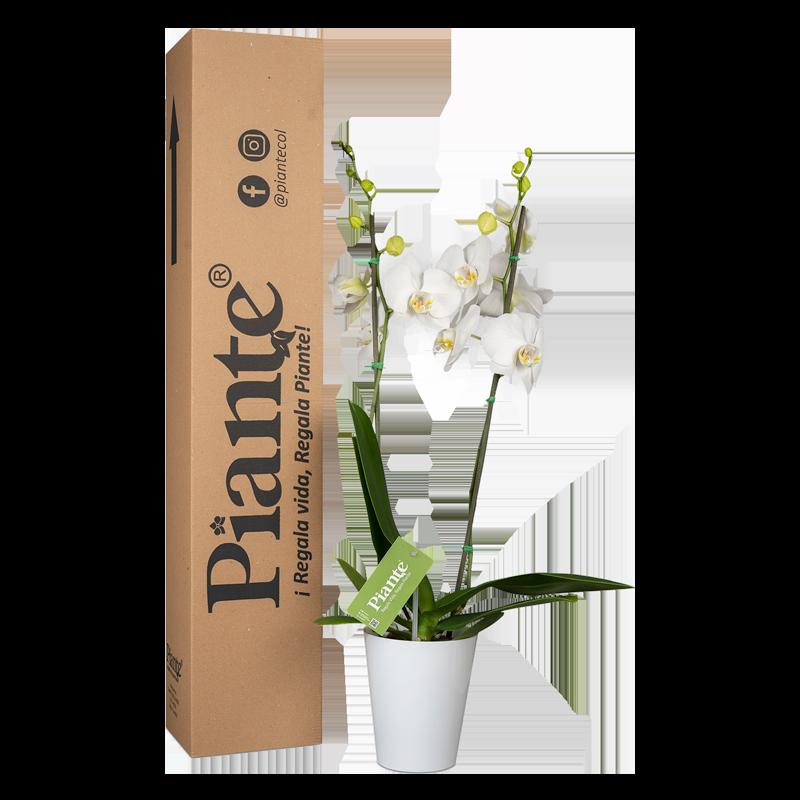 Orquídea supreme blanca y matera plástica Caja de altura promedio 55 cm