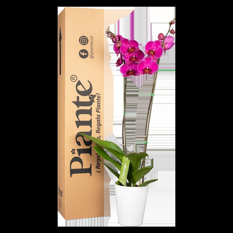Orquídea supreme morada y matera plástica Caja de 55 cm de alto