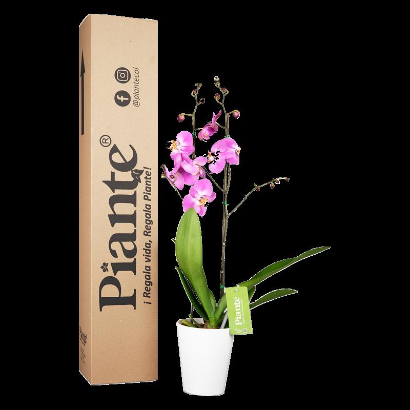 Orquídea supreme rosada y matera plastica Caja de 55 cm de alto