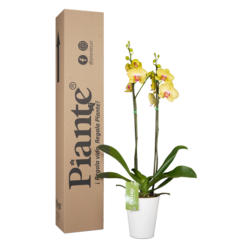 Orquídea supreme amarilla y matera plástica Caja Altura promedio 55cms