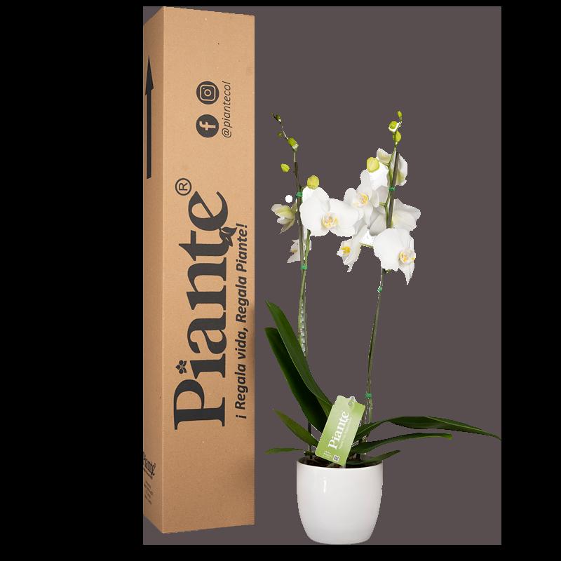 Orquidea supreme blanca y matera cerámica Caja de 55 cm de alto