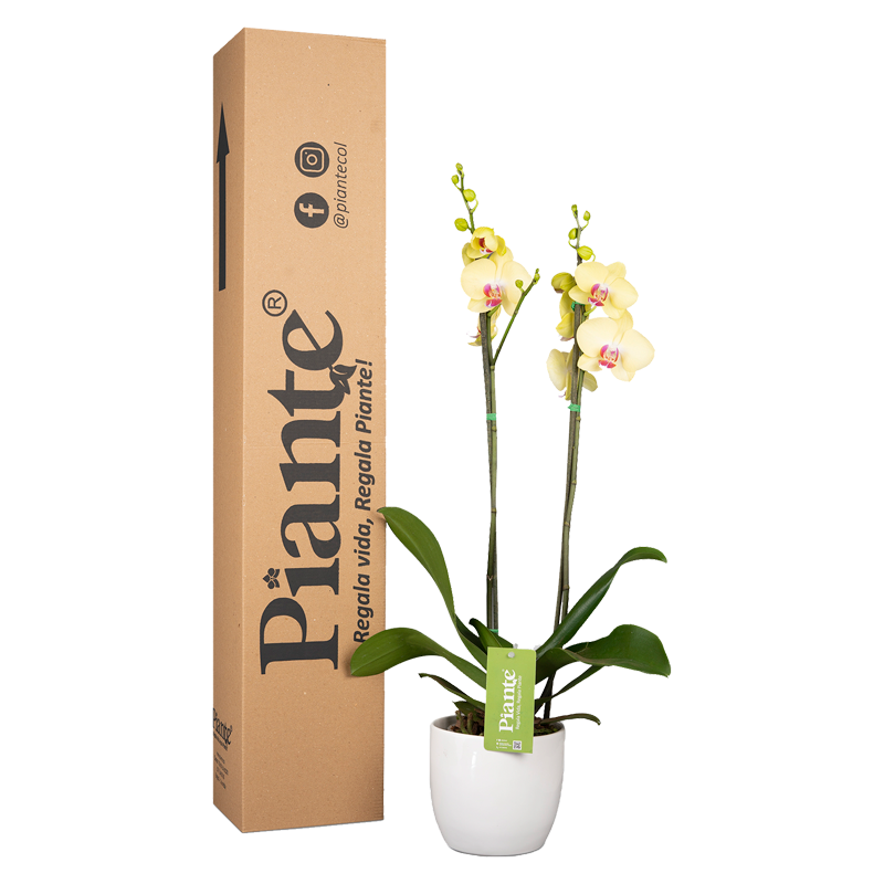 Orquídea supreme amarilla y matera cerámica Caja Altura promedio: 55cms
