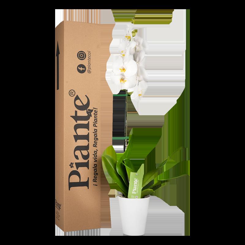 Orquídea premium blanca y matera plástica Caja de 55 cm de alto