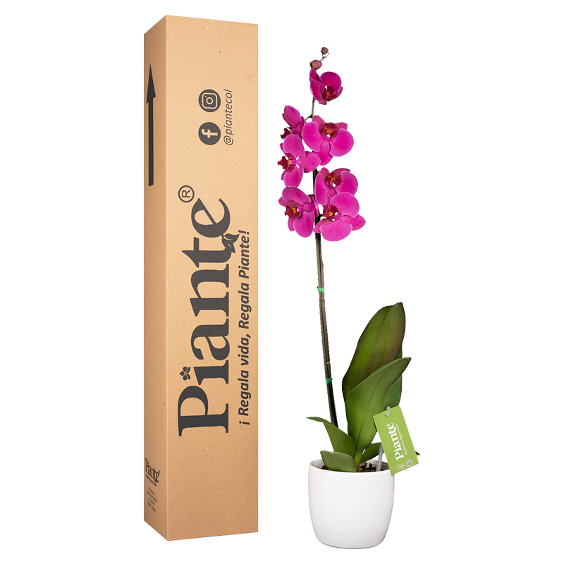 Orquídea premium morada y matera plástica Caja Altura promedio 35cms