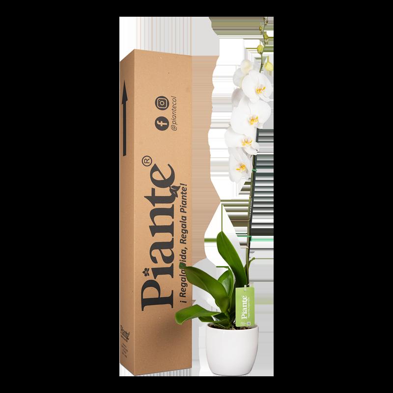 Orquídea premium blanca con matera cerámica Caja Altura promedio: 55cms