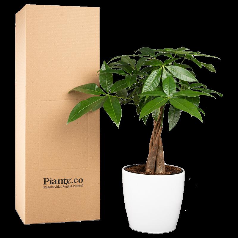 Árbol de la buena suerte con matera plástica Caja de 35 cm