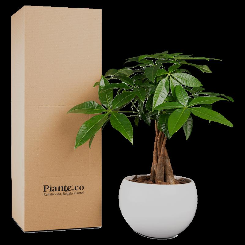 Árbol de la buena suerte con matera cerámica Altura promedio  35 cm