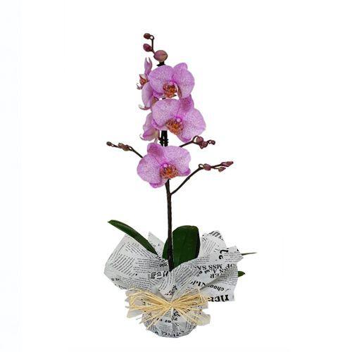 Orquídeas - planta orquídea phaleanopsis (Plantas Naturales) Planta natural en maceta envuelta con papel decorativo