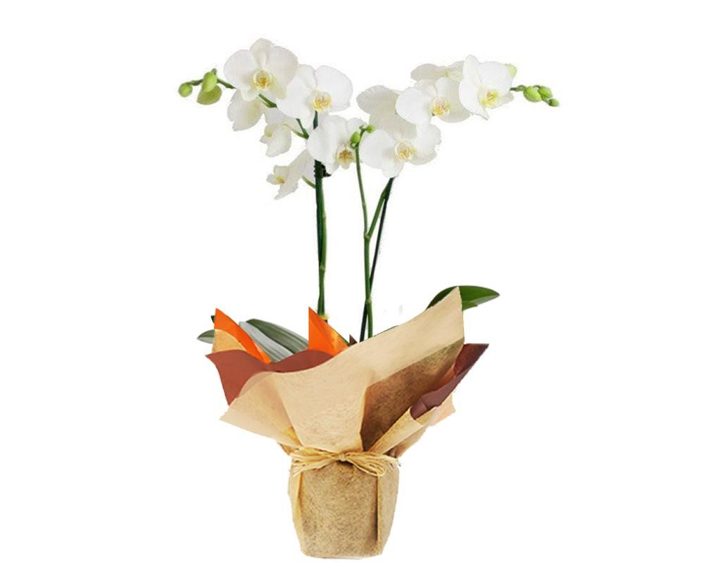 phalaenopsis 2 varas 65 cm de alto y 15 cm de largo
