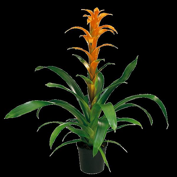 Bromelias guzmania naranja 85 cm ancho x 85 cm alto