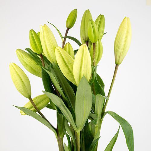 Lilium blanco Capuchon Celofán