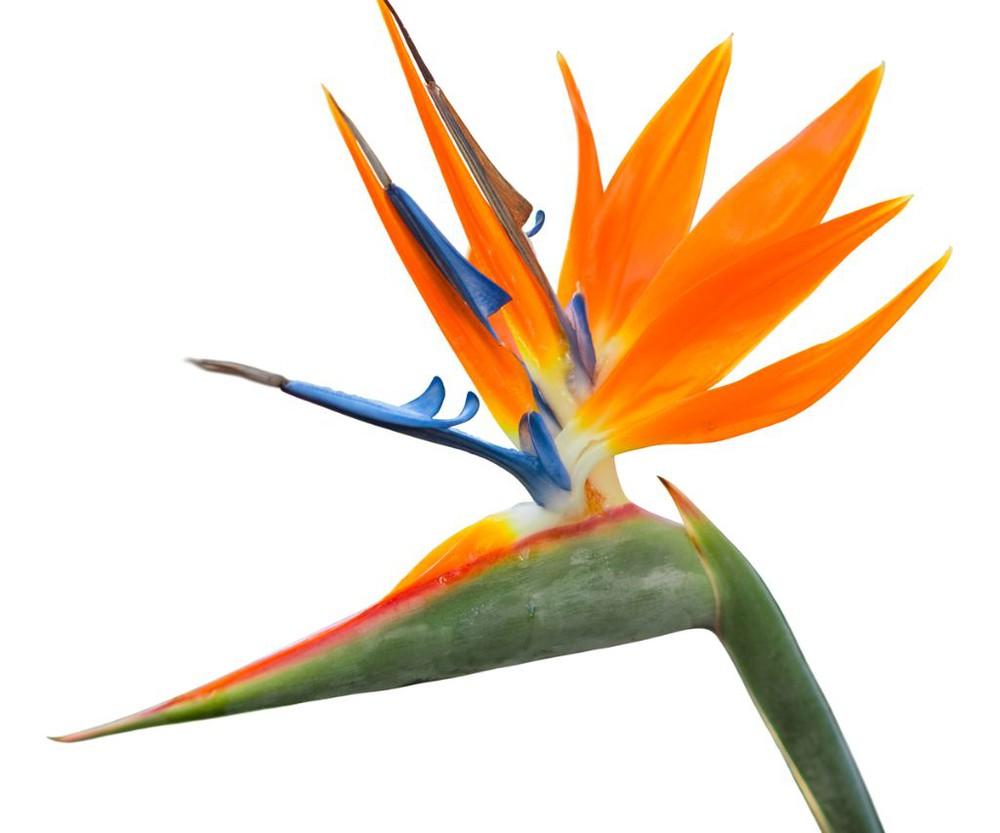 Strelitzia (ave del paraíso) 1 vara