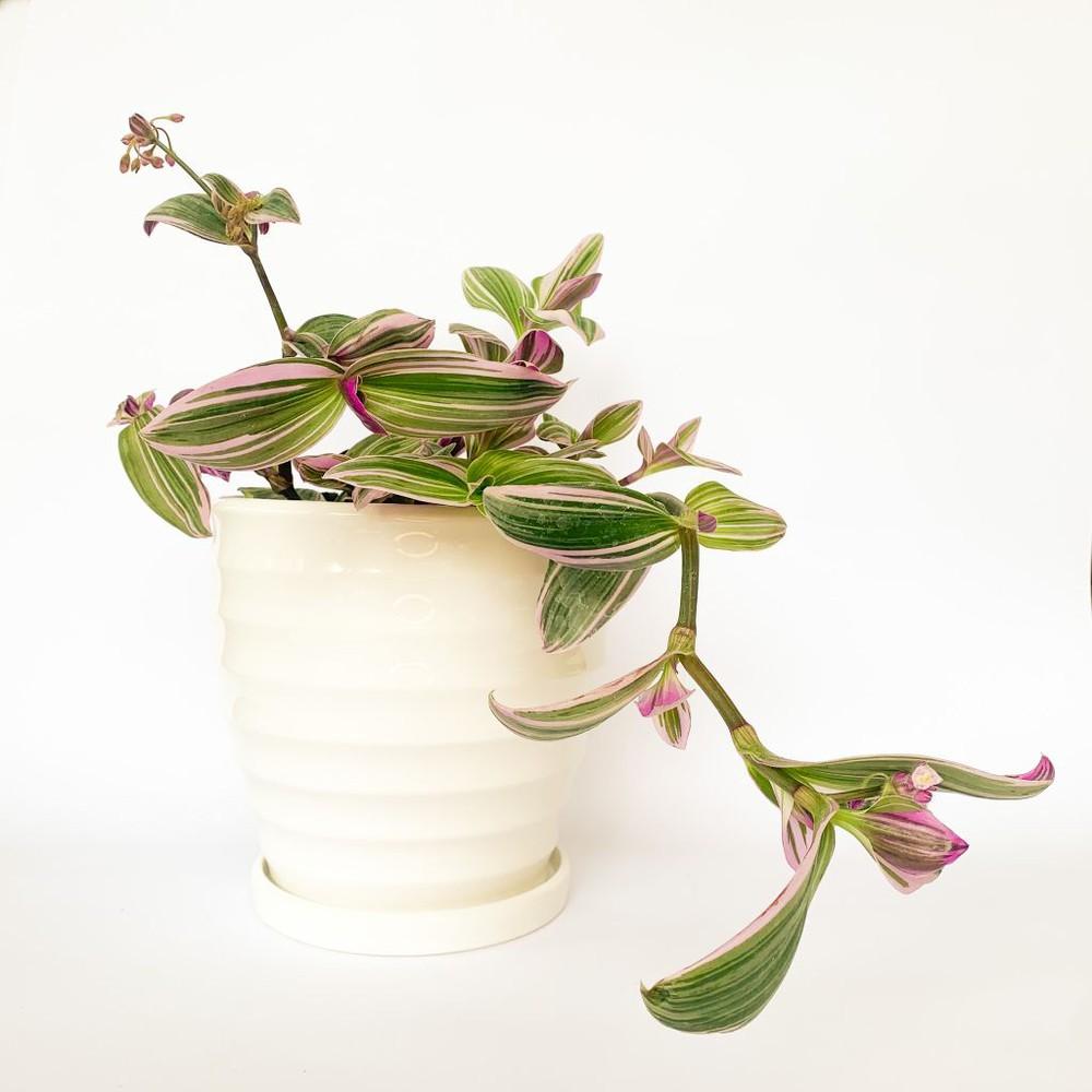Tradescantia zebrina rosa M