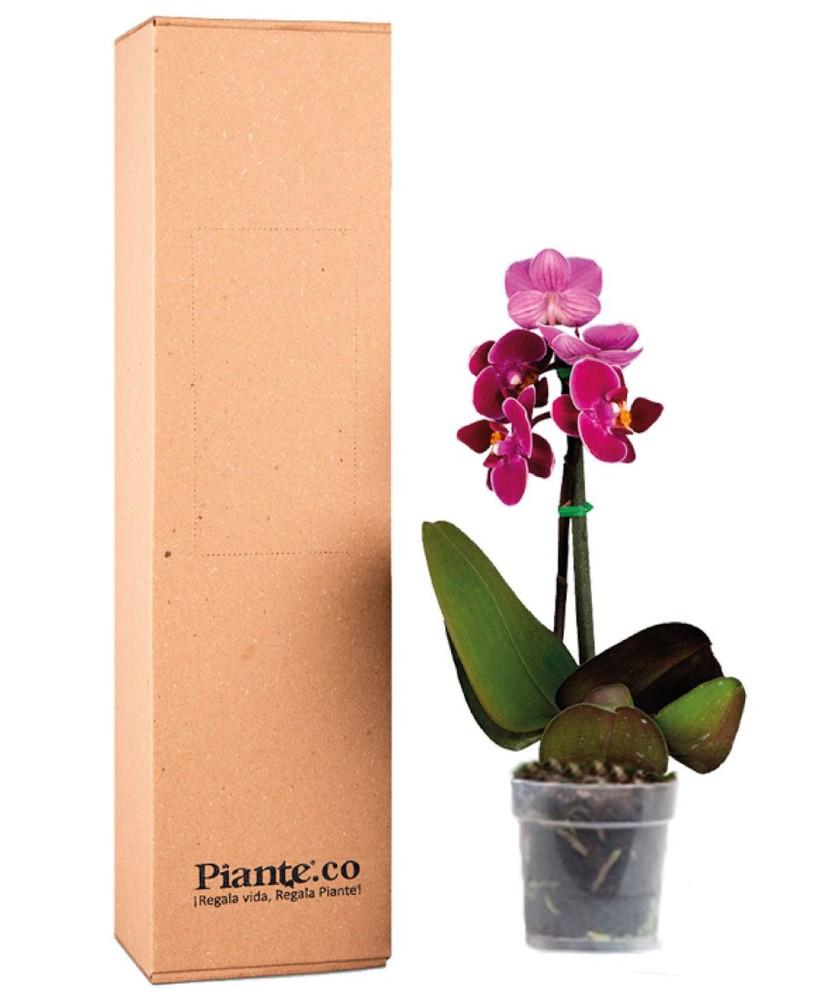 Orquídea morada mini en matera de cultivo 1 caja