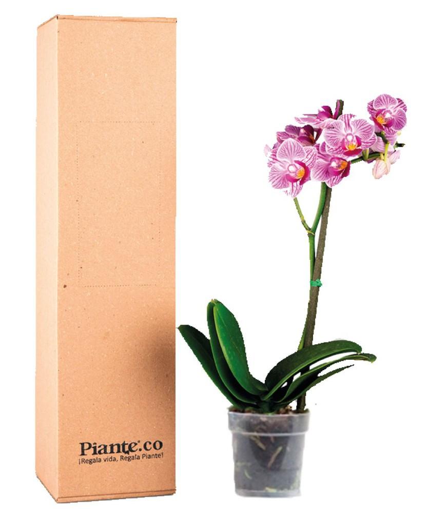 Orquídea rosada mini en matera de cultivo 1 caja