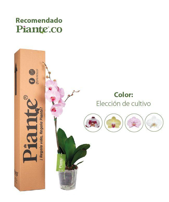 Orquídea premium en matera de cultivo- color a elección cultivo 1 Caja