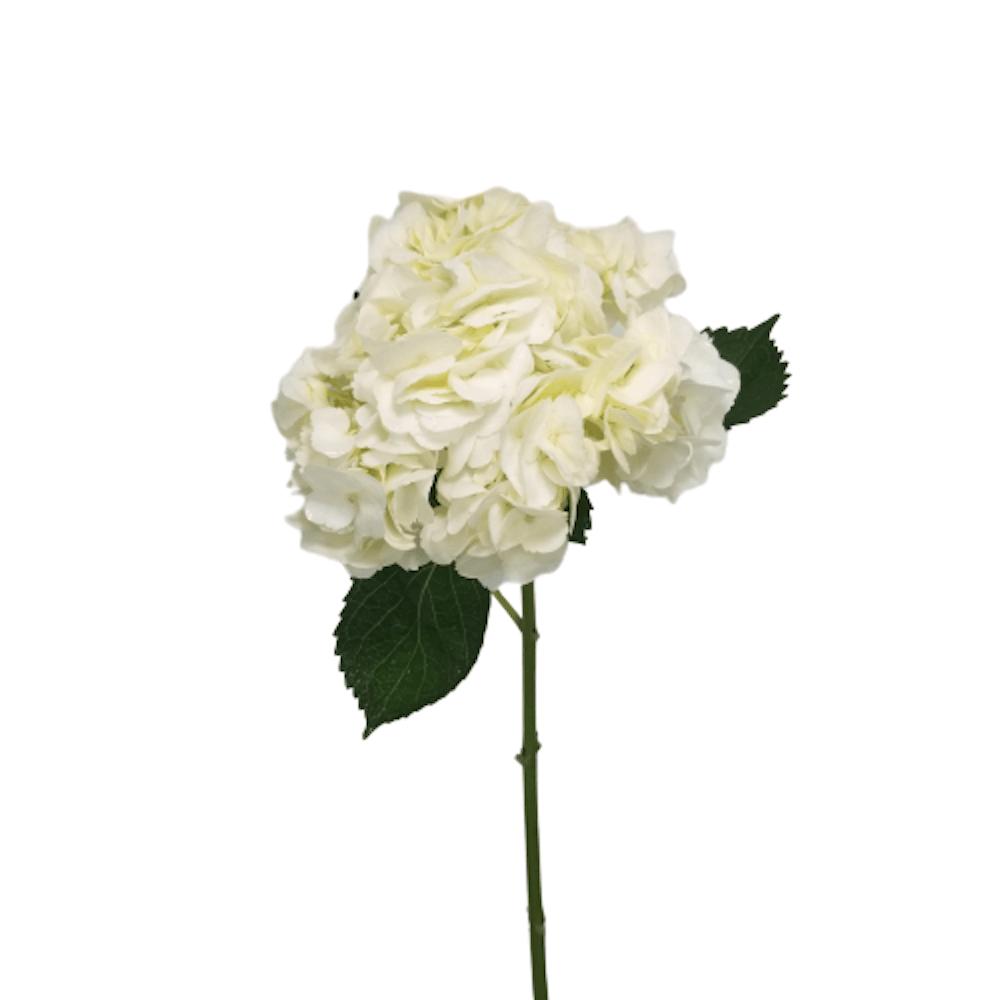 Hydrangea white regular 40 Stems
