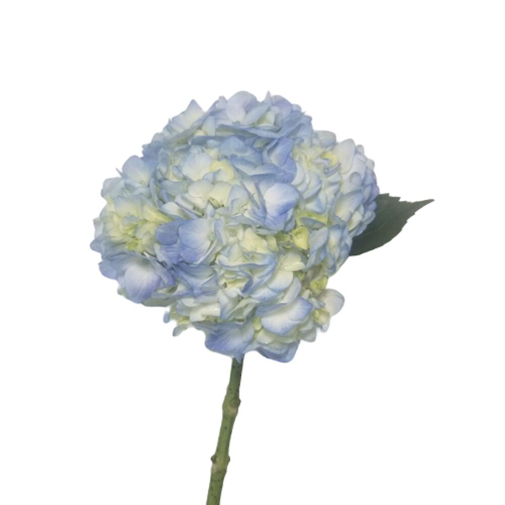 Hydrangea blue regular 40 Stems