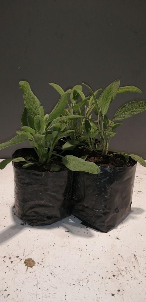 Salvia Bolsa