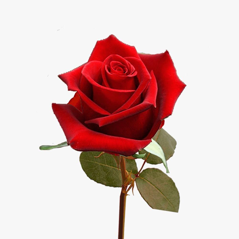 Rosa individual 1 unidad