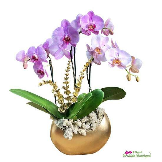 """Golden start to a new day phalaenopsis holiday orchid arrangement Approx. 15"""" h x 6"""" w"""