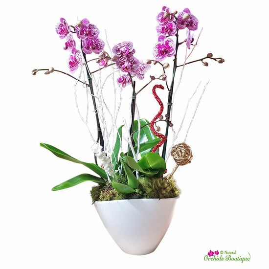 "Hello december phalaenopsis orchid arrangement Approx. 22"" h x 6"" w"