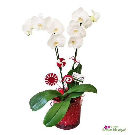 """Red candy ball phalaenopsis holiday orchid arrangement Approx. 16"""" h x 6"""" w"""