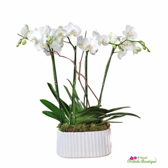 """Snow kissed phalaenopsis orchid arrangement Approx. 25"""" h x 10"""" w"""