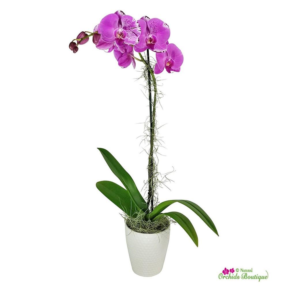 "Elegant phalaenopsis orchid arrangement Approx 28"" h x 5""w"
