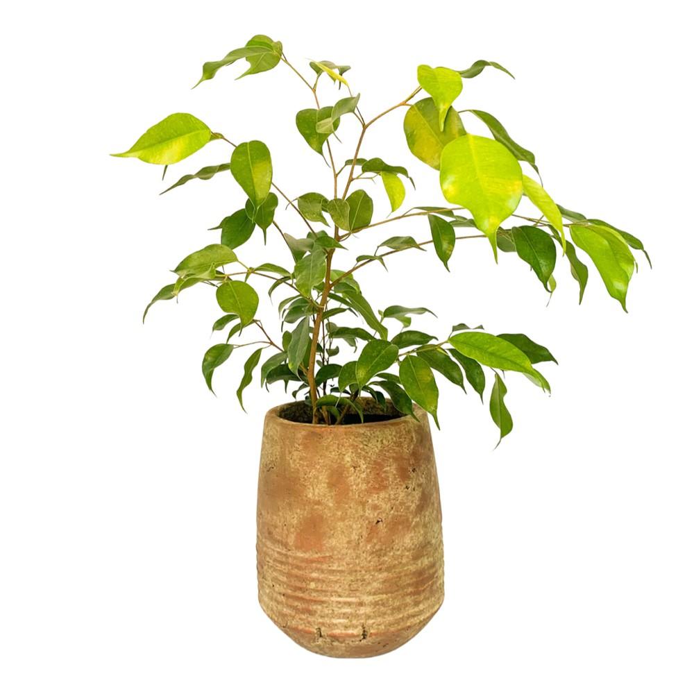 Ficus benjamina s