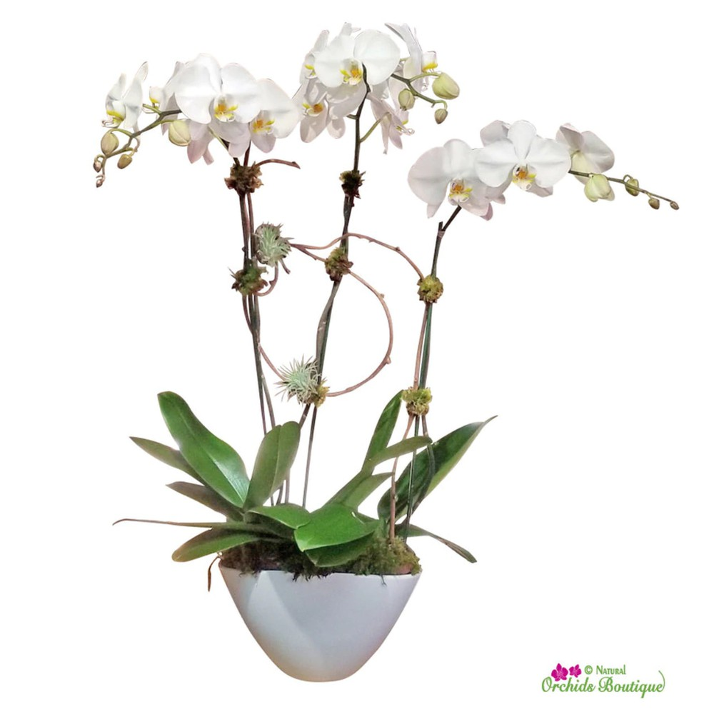 """Pure white phalaenopsis orchid arrangement approx 32""""H x 11"""" W"""