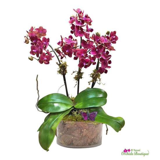 """Sweet as a coconut phalaenopsis orchid arrangement (approx. 22 """" H x 6"""" W)."""