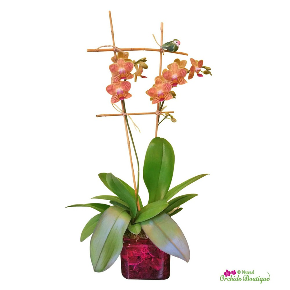 """Meet you in the park phalaenopsis orchid arrangement (approx 15"""" h x 4"""" w)."""