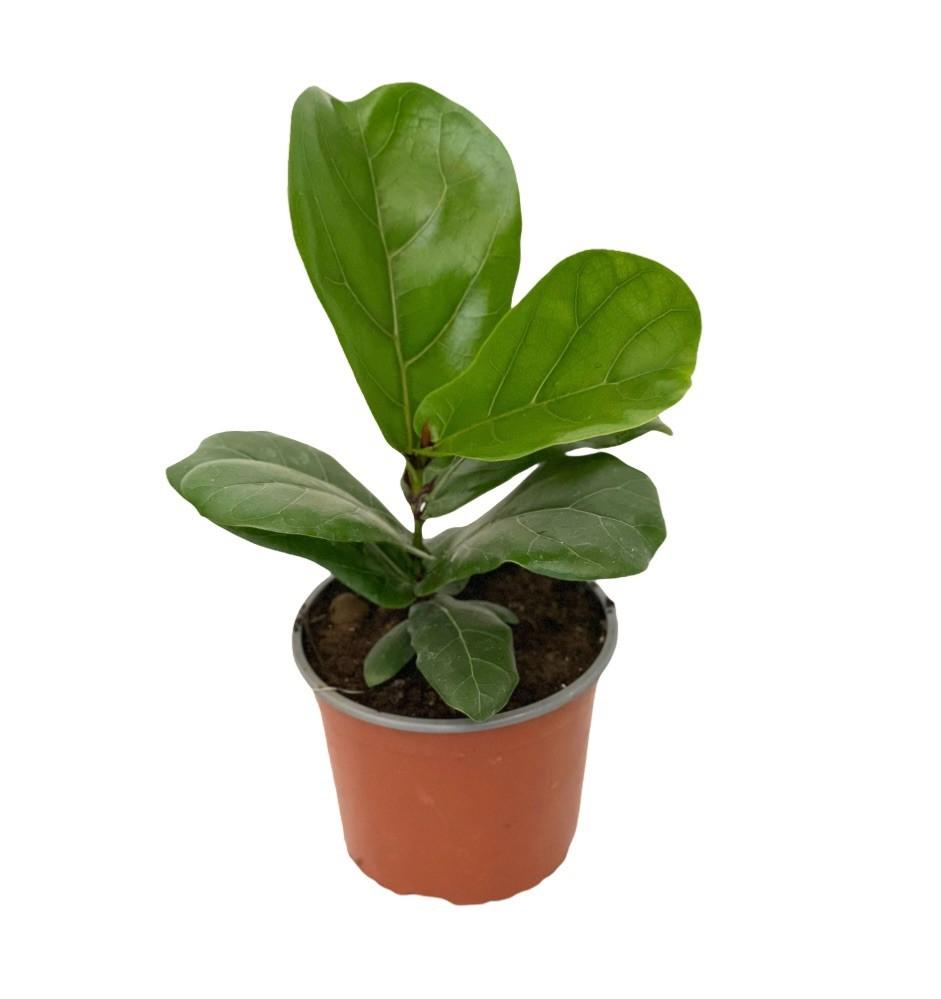 Ficus lyrata s Macetero plástico
