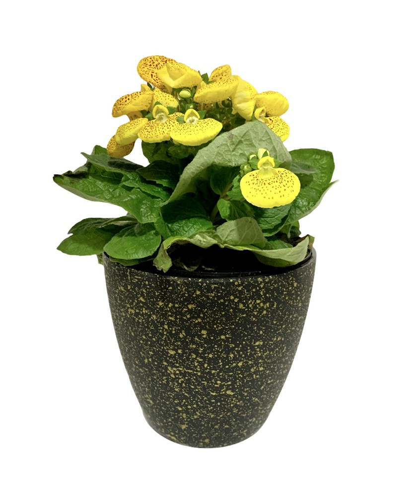 Planta calceolaria o zapatitos de venus en hermosa matera plástica 1 kg