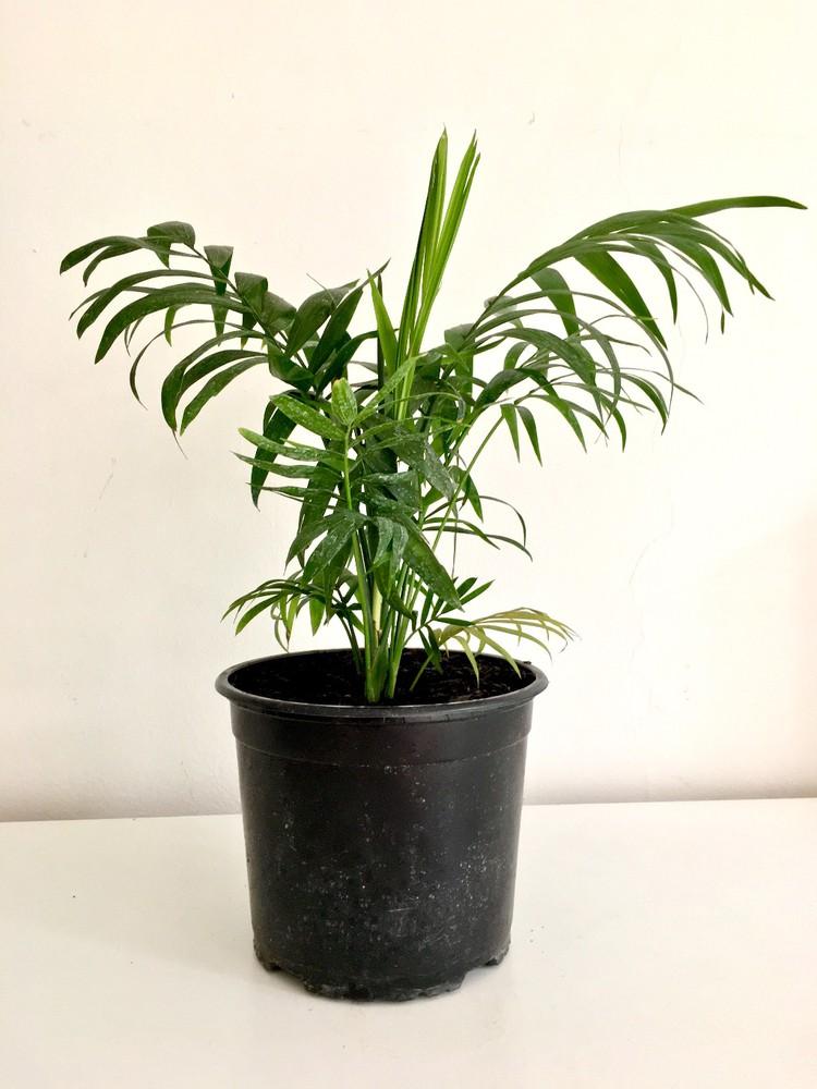 Palmera Chamaedorea elegans Macetero 17cm diámetro y con planta 40cm alto (aprox)