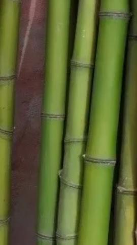 Tutor de colihue para plantas de 1.5 mts.