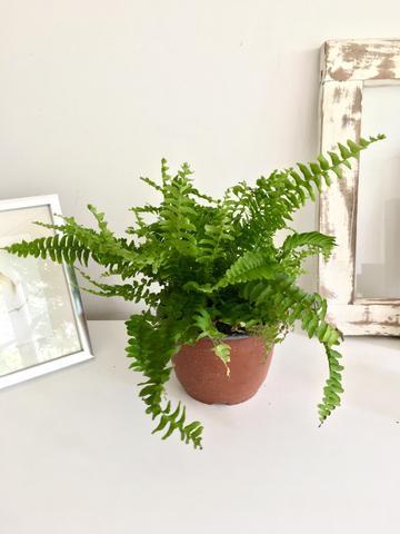 Helecho Maceta de plástico 12cm diámetro y con planta 30cm alto (aprox)
