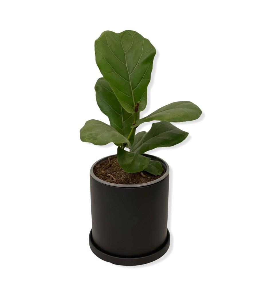 Ficus lyrata small en macetero negro Macetero 17 cm