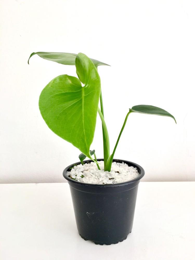 Monstera S Macetero 14cm diámetro y con planta 30cm alto (aprox)