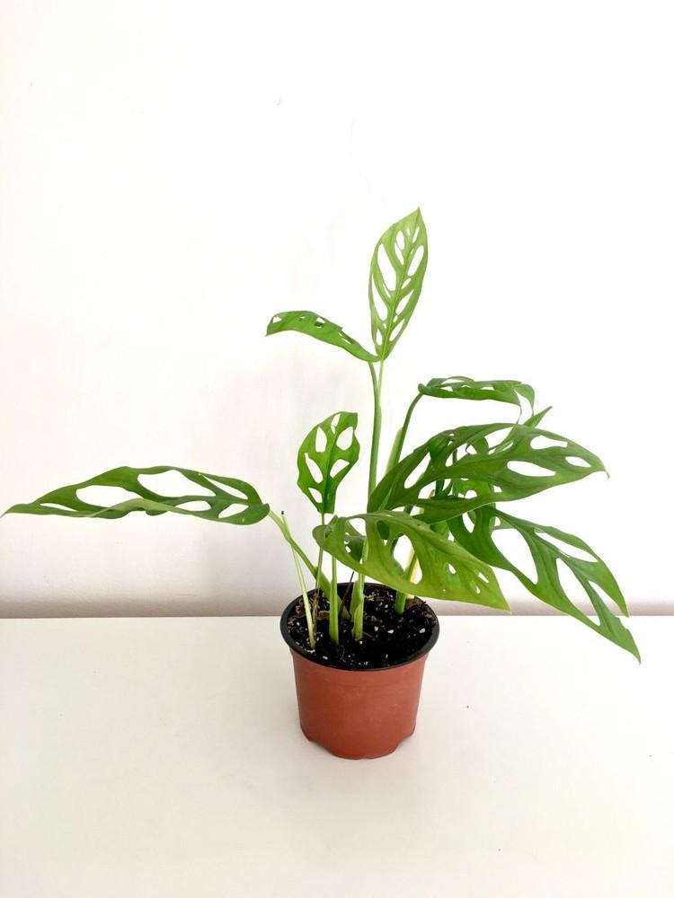 Monstera adansonii Macetero 14cm de diámetro y altura con planta 34cm aprox.