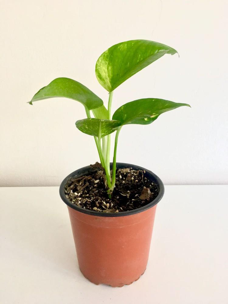 Pothus s Maceta 13cm diámetro y con planta 25cm alto (aprox)
