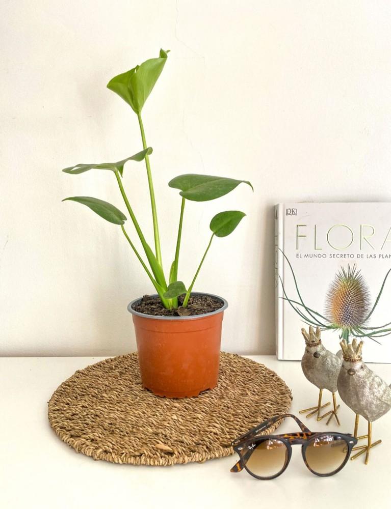 Monstera m Macetero 20cm diámetro y con planta 45cm alto (aprox)