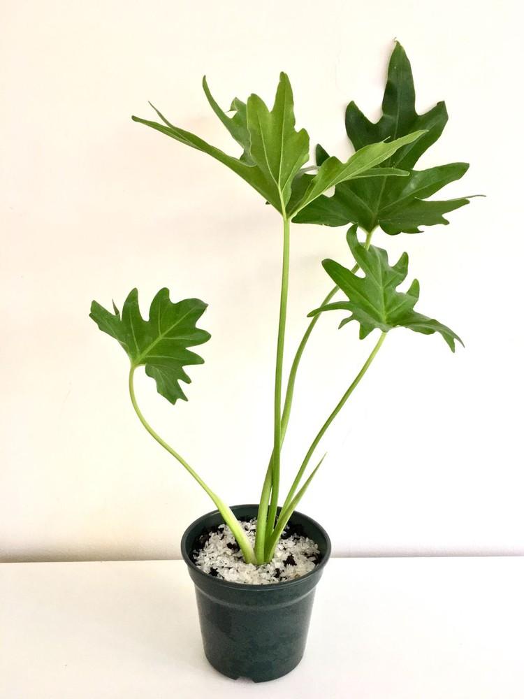 Filodendro paraguayo Macetero 15cm diámetro y con planta 40cm alto (aprox)