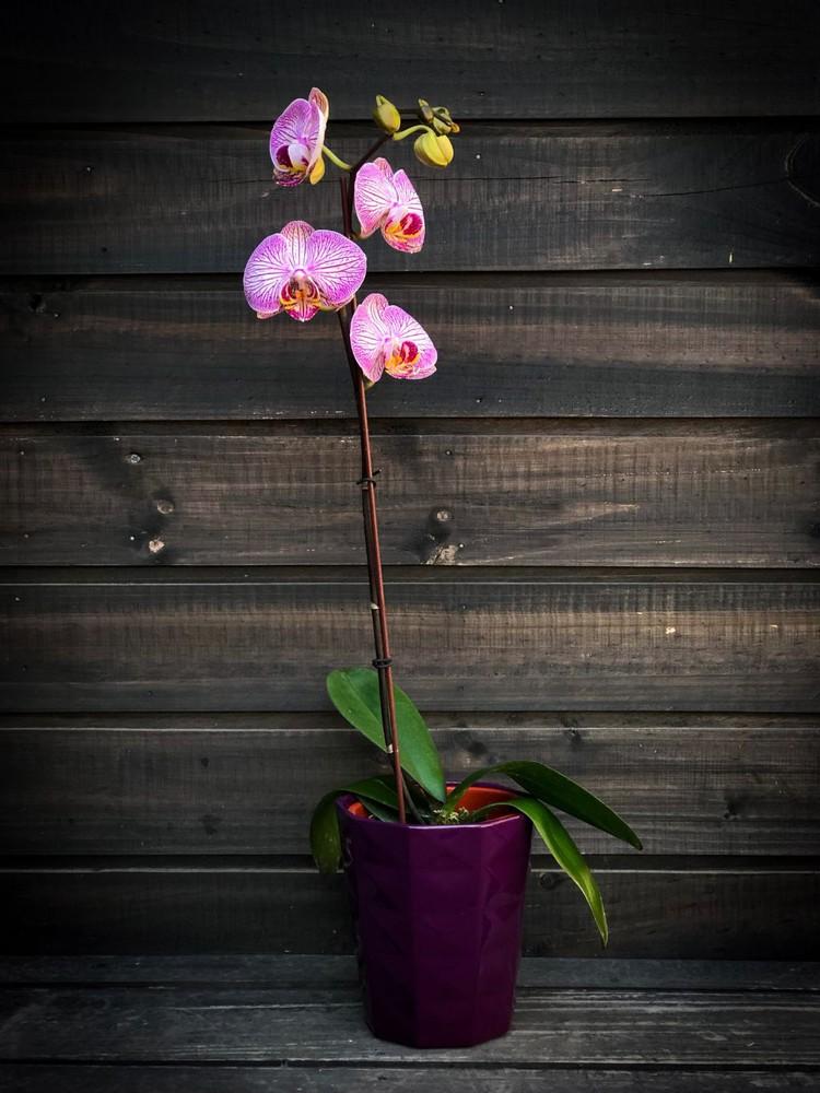 Orquídea en maceta de cerámica morada 1 planta