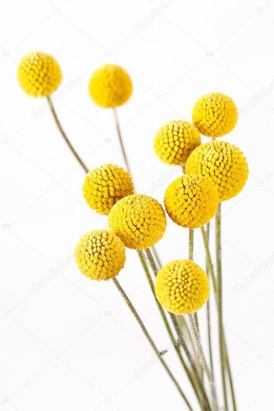 Craspedias amarillas 10 varas