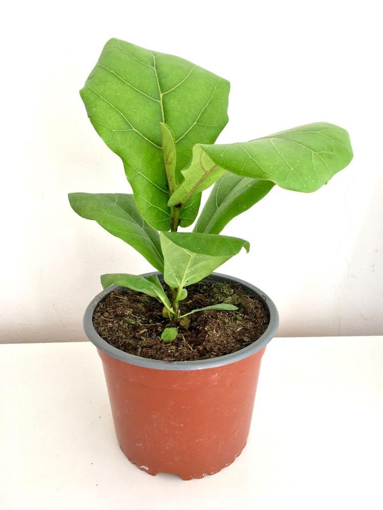 Ficus lyrata s Macetero 15cm diámetro y con planta 30cm de alto aprox.