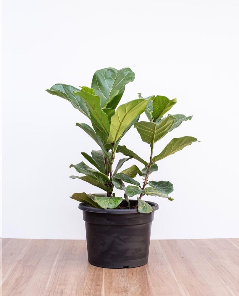 Ficus Lyrata macetero plastico